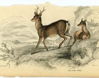 1845 roe deer original antique hand coloured engraving animal print