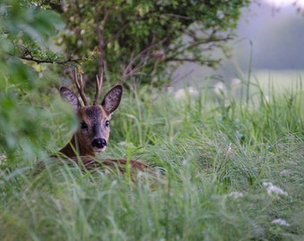 Roe deer - Fine Art Nature Photography Print