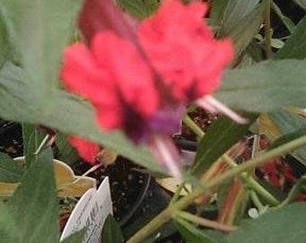 The rare Bat Faced Cuphia   Really nice Garden Plant