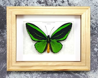 Framed Ornithoptera priamus poseidon Common Green Birdwing Butterfly Taxidermy A1/A1- #81