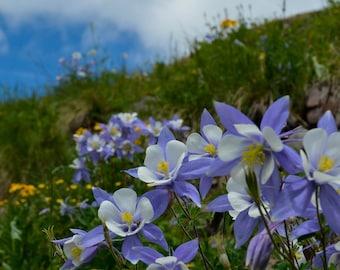 Columbine Wildflowers by Jessie Rowe Photography