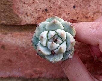 Echeveria Tippy TP 蒂比 Rare Succulent