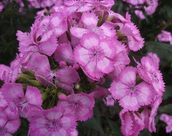 """Pre-order for Spring 2018/ 10 Live Plants PINK SWEET WILLIAMS aka Dianthus Barbatus  """"Pink Beauty"""" -  Long Blooming Mounding Perennial"""