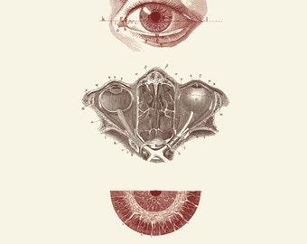 """Vintage menschliche Anatomie, Augen, """"L ' Anatomie Humaine"""" Print 8 x 10 P247"""