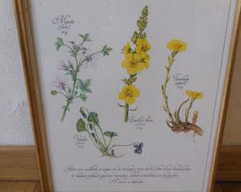 "Botanical print under glass framed ""Tea for inflamed throat"" Pastel de C michaut calligraphy P Benoistel 1982 France"