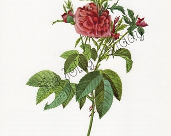 Vintage Redoute Rose Print, Pink and Green, Botanical Book Plate, Art Print, Pierre Joseph Redoute 1978