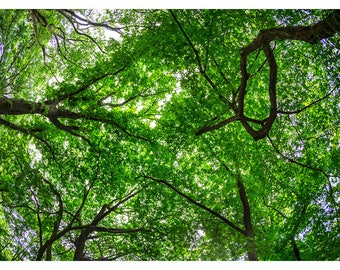 Tree Canopy photography picture print decoration