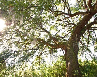 Bennie's Oak Tree - landscape photograph - nature south southern woodland forest sun sunshine