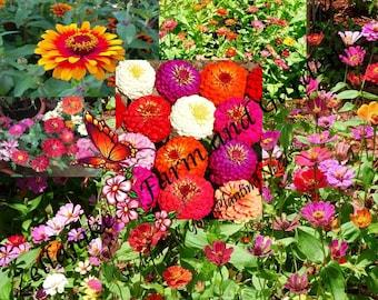 Zin Master Zinnia Flower Mix Seed Pick Sizes 5 LB Free Ship Wildflower EASY ST27