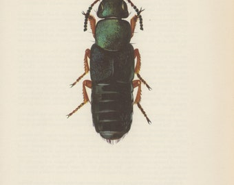 1964 Rove Beetle Staphylinus fulvipes Vintage Print Insect Colour Plate Staphylinidae Entomology Illustration Natural History
