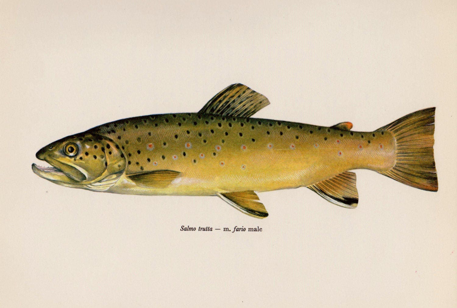 Gorgeous Vintage BROOK TROUT Fish Print Fish Gallery Wall Art
