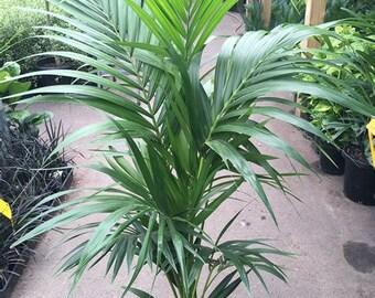 Kentia Palm - 1 Plant -  2 Feet Tall - Ship in 1 Gal Pot