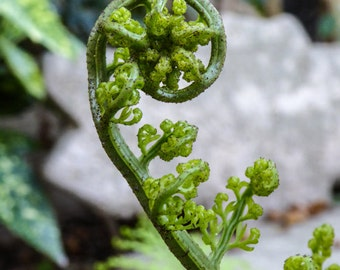 Sacred Spiral of a new Fern, Fibonacci spiral in Nature, Greeting Card or Photographic Art Print