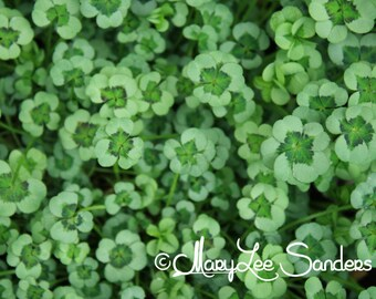Irish clover , Fineart photography, of 4 leaf clover lucky in any decor
