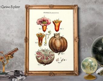 Pomegranate Print, Pomegranate Kitchen, Fruit Art Decor, Antique Botany Print, Vintage Pomegranate, Pomegranate Decor - E14s3