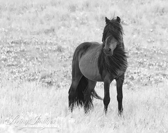 Sable Island Stallion Stands - Fine Art Horse Photograph - Horse - Sable Island - Wild Horse - Black and White -Fine Art Print