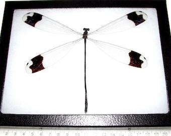 Real framed giant dragonfly damselfly Megaloprepus caerulatus 8in x 6in frame!