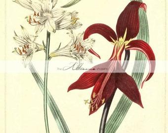 Digital Download Printable Art - Flowers Botanical White Red Illustration Art Image Antique Vintage - Paper Crafts Scrapbook Altered Art