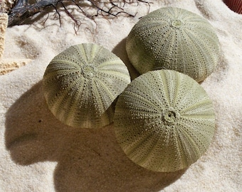 Green Sea Urchins (cae pack 3) Great for Crafts or Collectors