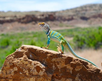 Desert Lizard Canvas Print