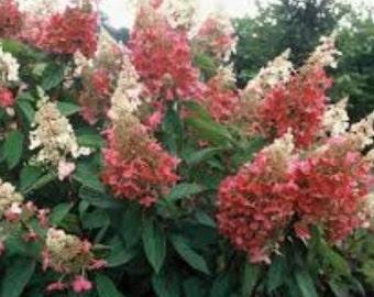 Quick Fire Hardy Panicle Hydrangea - Live Plant - Quart Pot