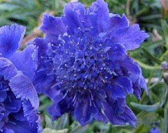 35+ Dark Blue Pincushion Scabiosa / Perennial Flower Seeds