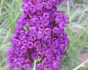 Black Knight Butterfly Bush (buddleja davidii) Live plant. Attracts butterflies.