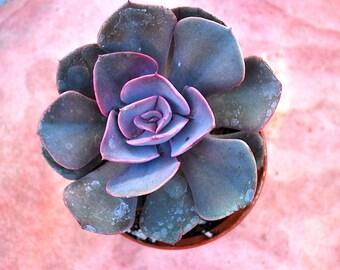 Echeveria Dusty Rose