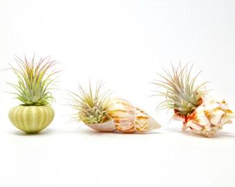 3 Piece Sea Urchin / Seashell Air Plant / Live Tillandsia Ionanthas / 3 Unique Seashells / Home Decor / Gifts / Decoration