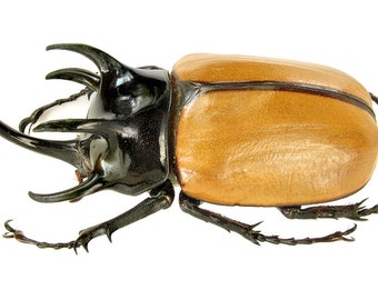 ONE Real Eupatorus Gracilicornis Rhinoceros Beetle Wings Closed Unmounted Packaged Insect Wholesale