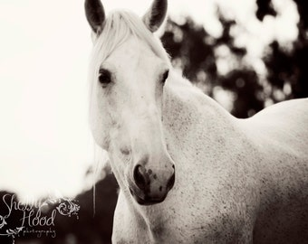 Horse Art Photography in Black and White, Wall Decal Fine Art Print of a Rescued Percheron Horse, White Horse Art Cling on for a Modern Home