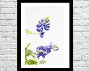 Texas Bluebonnet Photography, nature photography, landscape photography, Bluebonnet Art, flower print, texas blue bonnet wall art, 2 singles