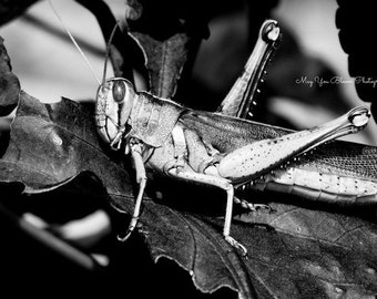 Grasshopper, Black and White Photography, Close Up Shot, Insect Photography, Wildlife, Macro, Nature Photography, Wall Art, Grasshoppers