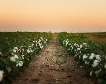 Cotton Field Sunset Background