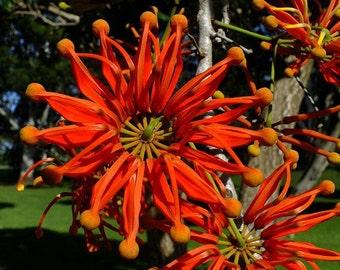 Firewheel Tree, Stenocarpus sinuatus, 10 seeds, orange pinwheel flowers, easy to grow, zones 9 to 11, great street tree, drought tolerant