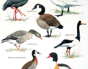 Birds - Black Necked Screamer, Tundra Swan, Canada Goose, Shelduck - Vintage 1980s Bird Book Plate Page