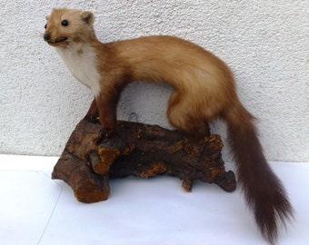 Taxidermy Marten - REDUCED PRICE