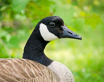 Goose (digital download)
