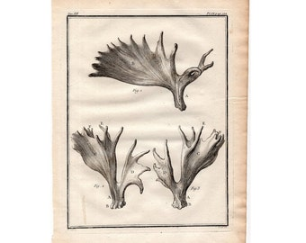 1777 DEER ANTLERS HORNS print rare original antique animal anatomy engraving