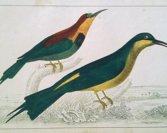 1850, Original Hand-Colored Lithograph, Antique Bee-eater Birds Print, Goldsmith, Fullarton, Vintage Bird Ornithological Print