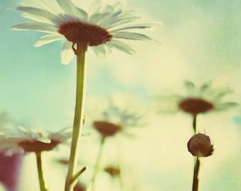 daisy, flowers, blue, summer, teal, nature, fine art photography
