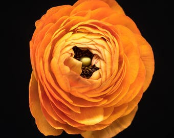 orange ranunculus flower | nature  photography | floral art
