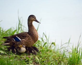 Duck and ducklings hiding under it in the grass on the bank