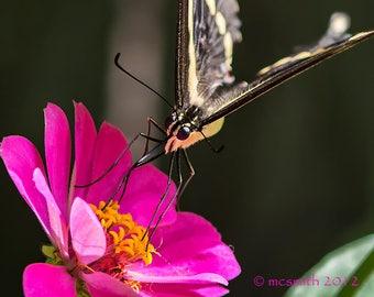 Swallowtail and Hot Pink Zinnia