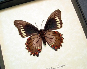 Real Framed Battus Polydamas Lucayus Gold Rim Swallowtail Butterfly 8332