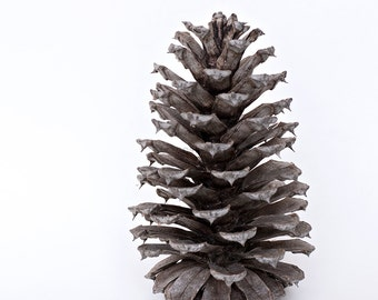 pinecone photo