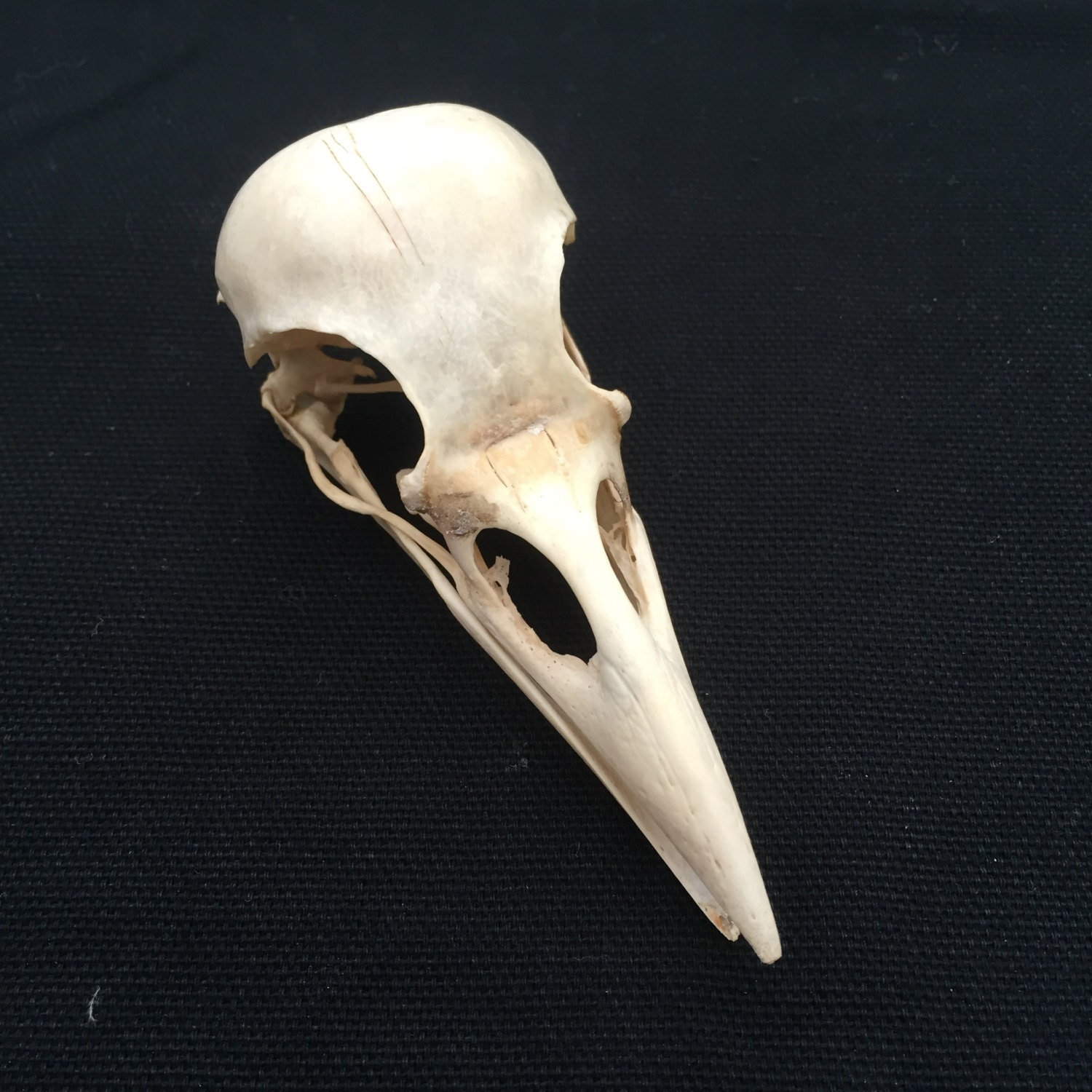 A Genuine Wild English Carrion Crow Skull And A Few Crow