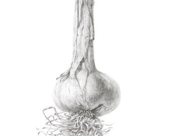 Garlic  -- LARGE Archival Giclee Print  of original pencil drawing - 42 x30 cm