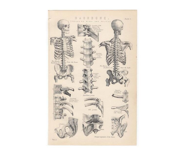 1880 menschliche Skelett Rückgrat drucken original antiken