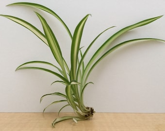 Spider Plant - Set of 3 - Chlorophytum comosum